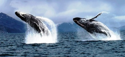 Kodiak_Island_humbacks