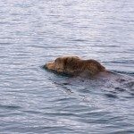 A Kodiak bear swimming between local islands.
