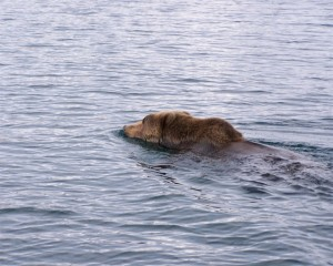 A Kodiak bear swimming between local islands