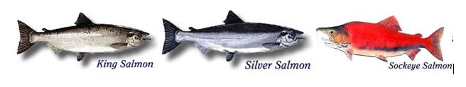 a picture of a silver, red and king salmon