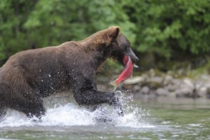 brown bear in river with salmon in his mouth