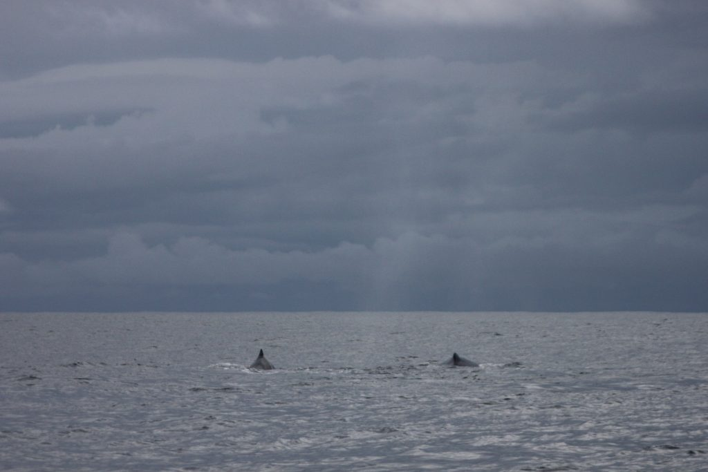 backs-swimming-away-costa-rica-whale-watching