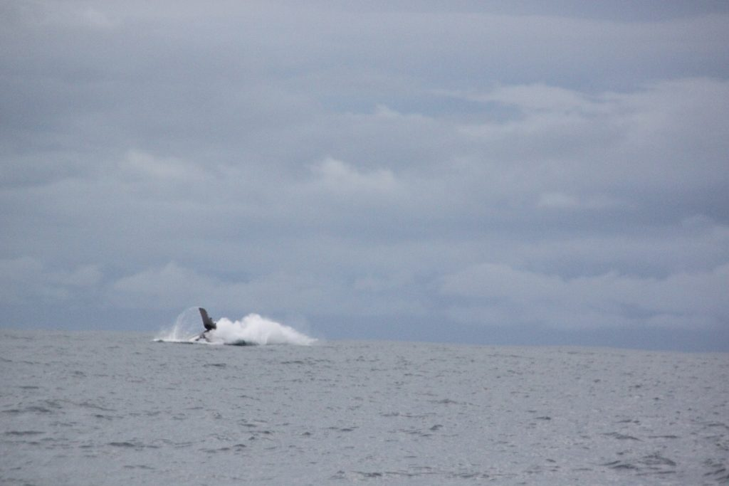 whale-breach-end-costa-rica-august-2016-inshore