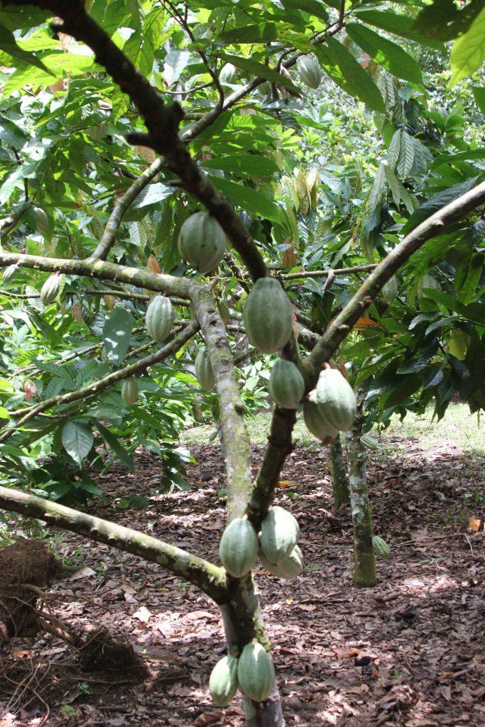 costa-rica-eco-tour-cacao-bean-tree