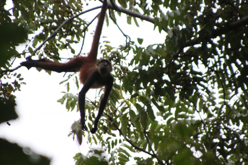costa-rica-eco-tours-spider-monkey