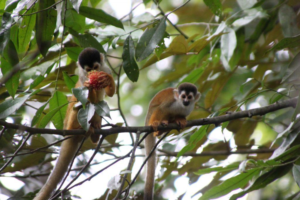 costa-rica-eco-tours-squirrel-monkey