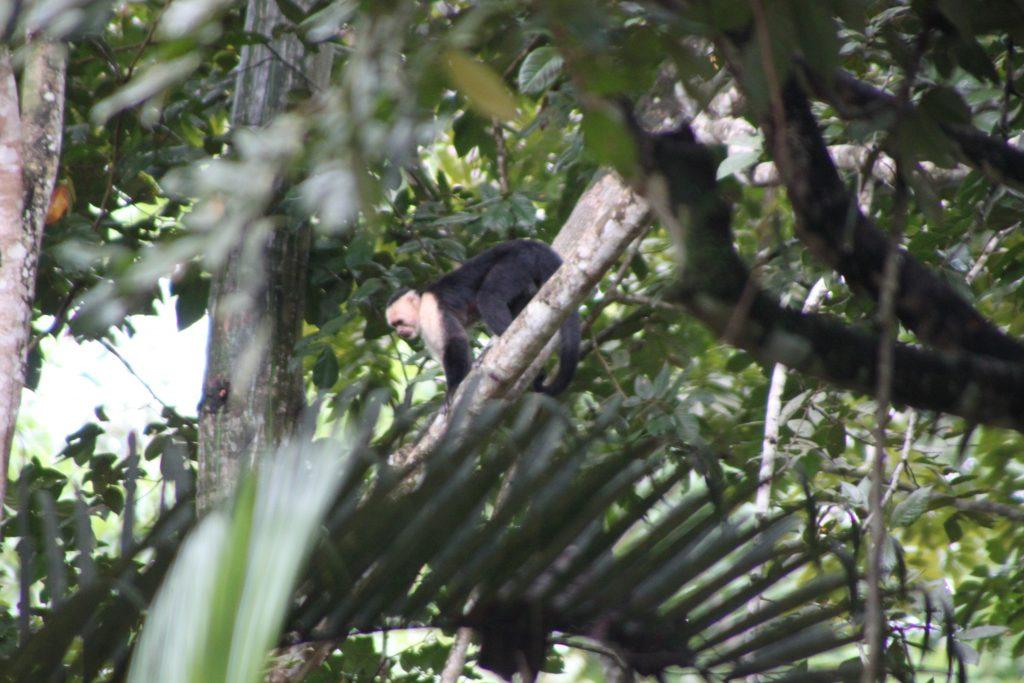 costa-rica-eco-tours-white-face-monkey