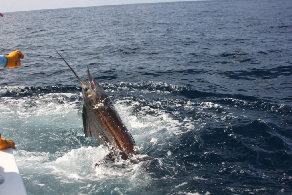 Sailfish Off Stern Costa Rica Fishing Trip