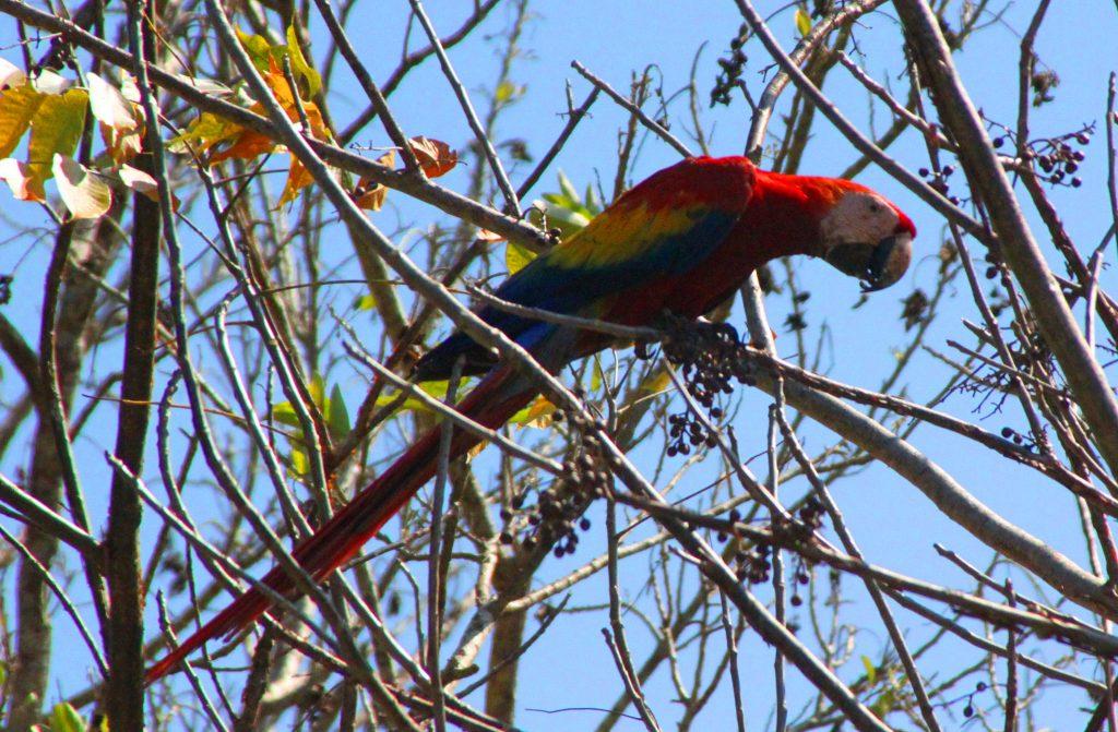 Scarlet Macaw Costa Rica Fishing Trip