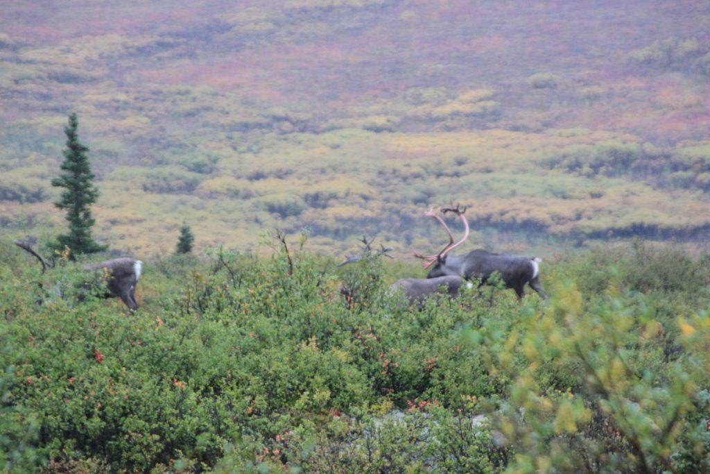 Denali National Park caribou