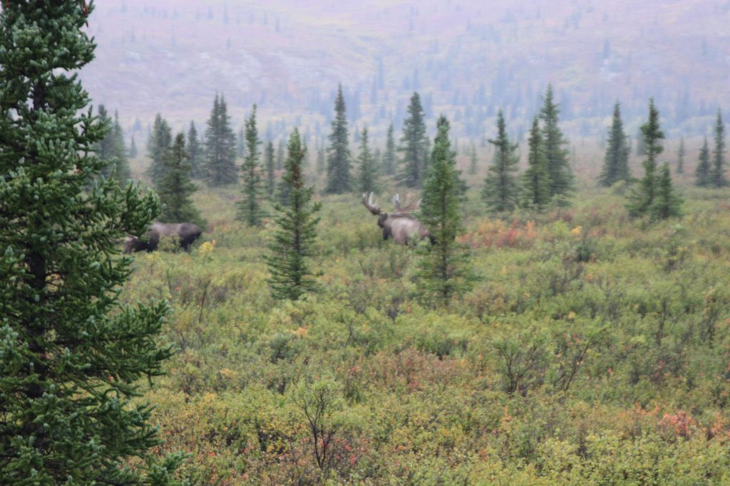 Denali National Park Moose