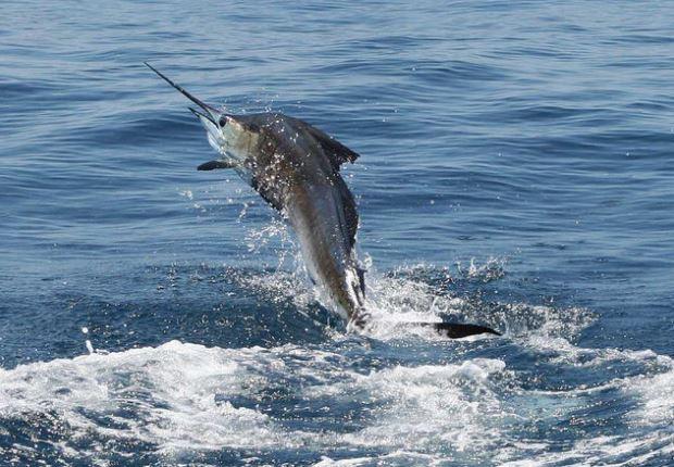 Costa Rica Sailfish Jumping