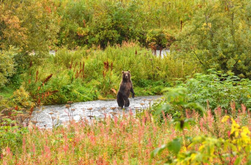 Kodiak Fishing Report Bear Standing In River