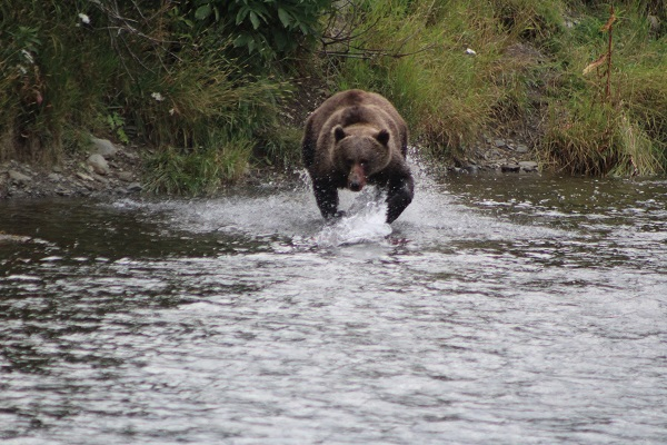 Kodiak fishing season 855-711-7773 Bear Chasing Salmon