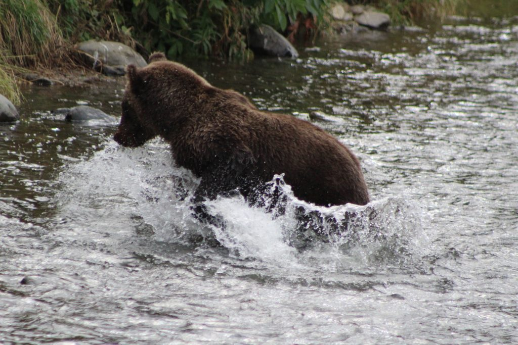 Sub Adult Bear fishing