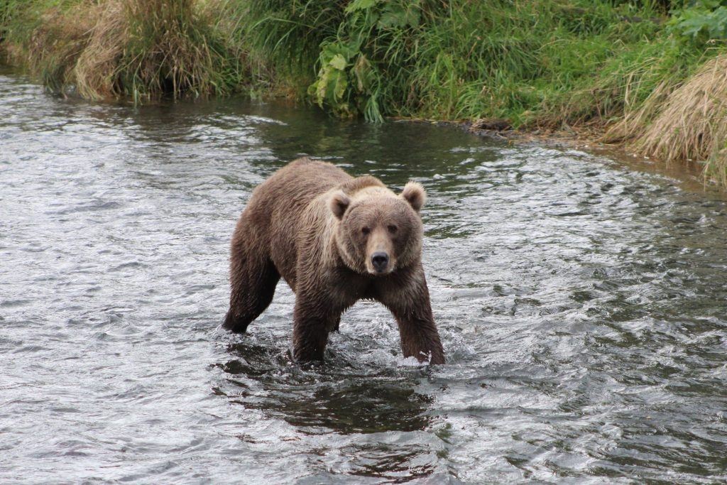 Kodiak brown bear in Thumb River