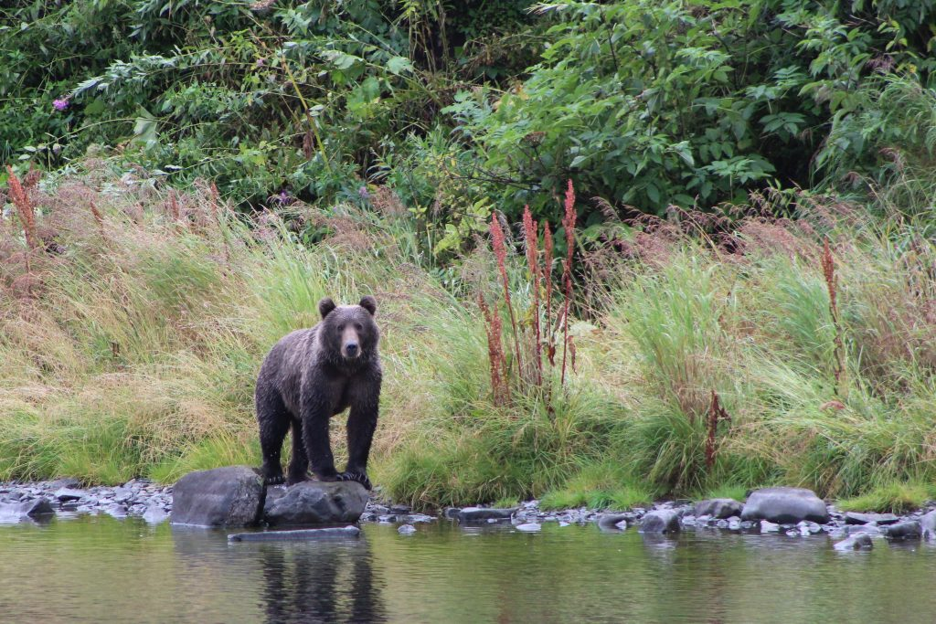 kodiak bear looking over river