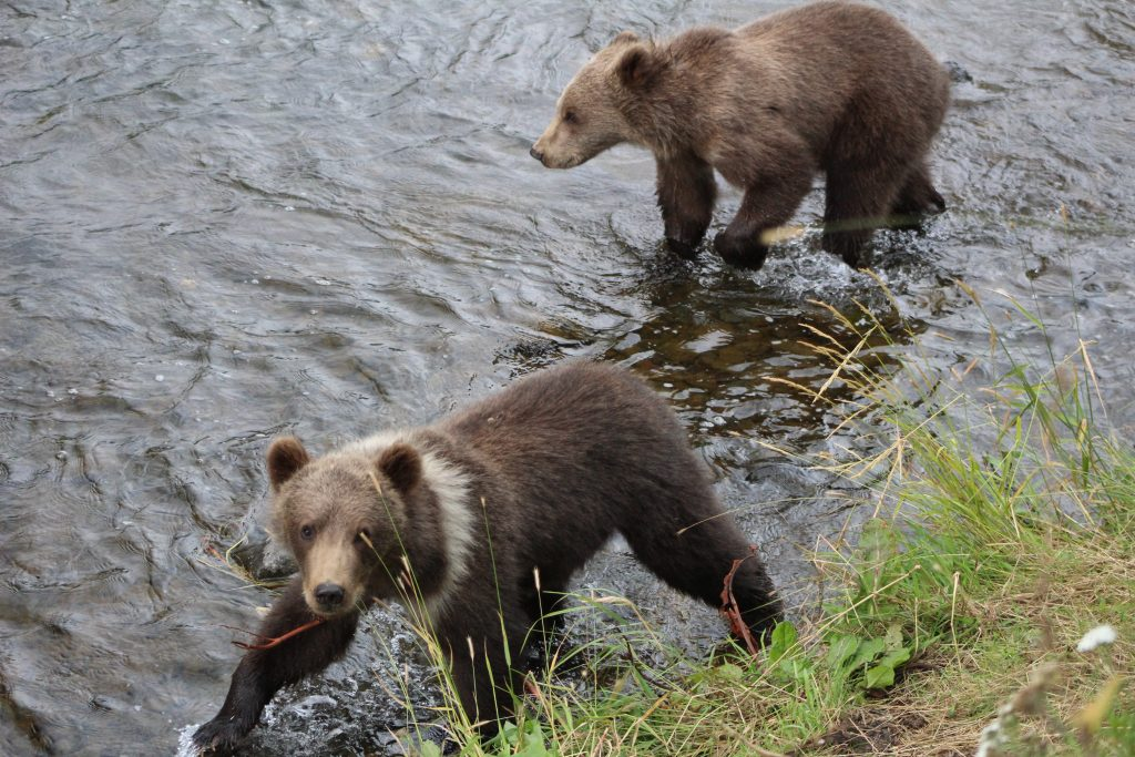 kodiak brown bear cubs